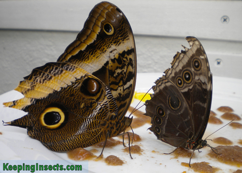 Two butterflies eating. One is a Morpho butterfly, the other side of the wings is bright blue