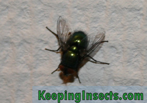 Green bottle fly - one of the housefly species
