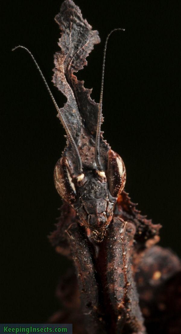 phyllocraniaparadoxa3