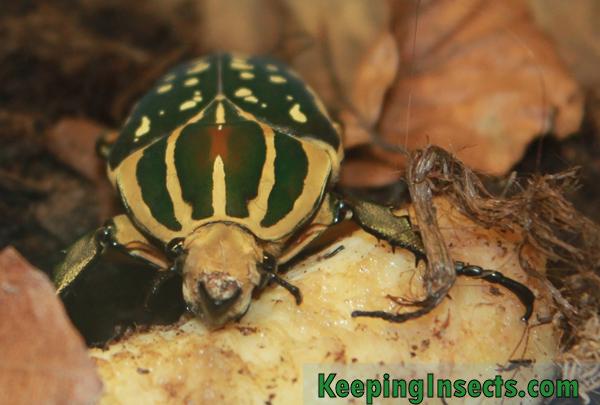 Chelorrhina-polyphemus
