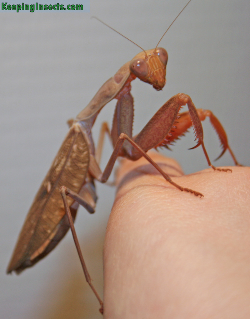 Adult female African Mantis - Sphrodomantis lineola