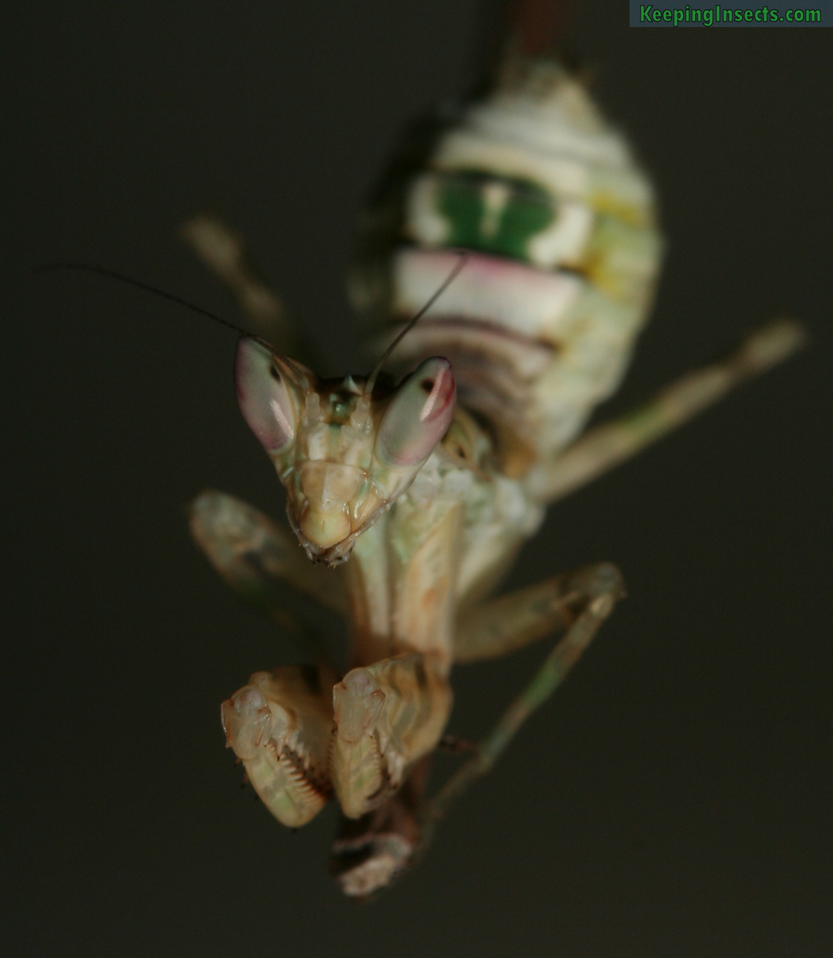 indian flower mantis nymph