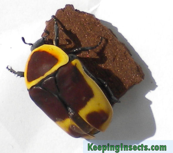 Sun Beetle