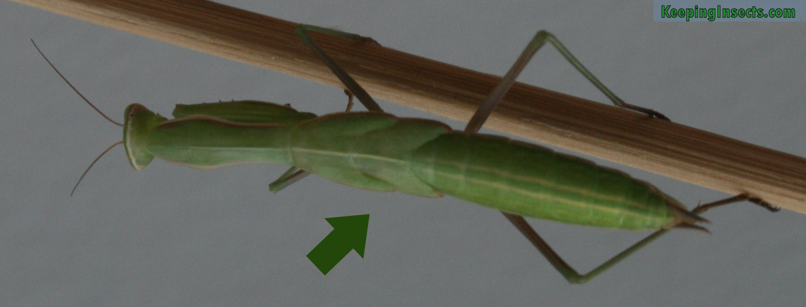 Faq About Praying Mantises Keeping Insects