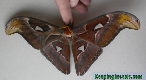 Atlas Moth care Attacus atlas | Keeping Insects