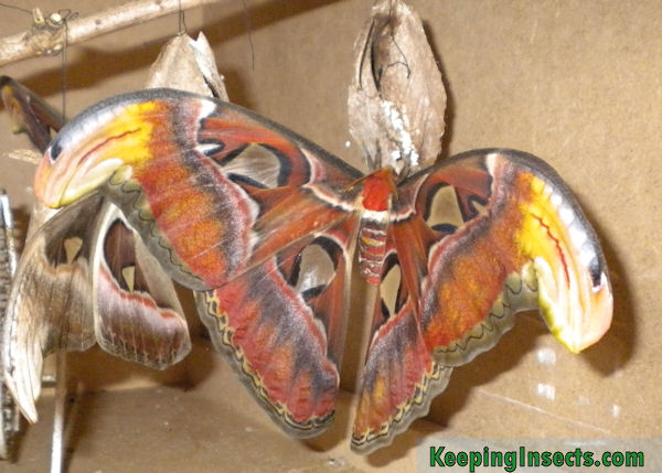 Atlas Moth Care Attacus Atlas Keeping Insects