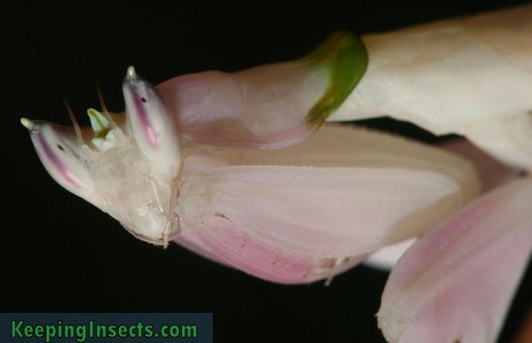 hymenopuscoronatus9