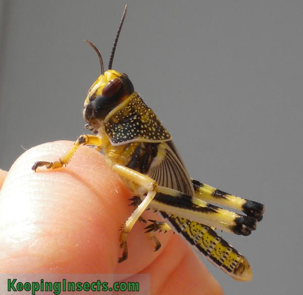 Schistocerca gregaria nymph