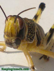 locust-schistocerca-gregaria4