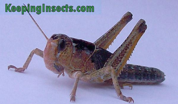 Locusta migratoria nymph