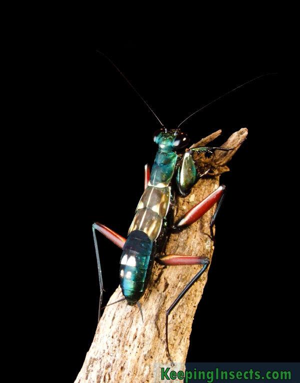 metallyticus-splendidus5-praying-mantis