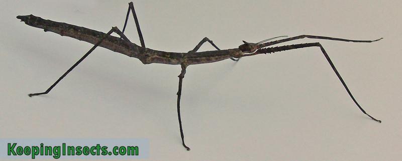 praying mantis stick insect walking stick bug