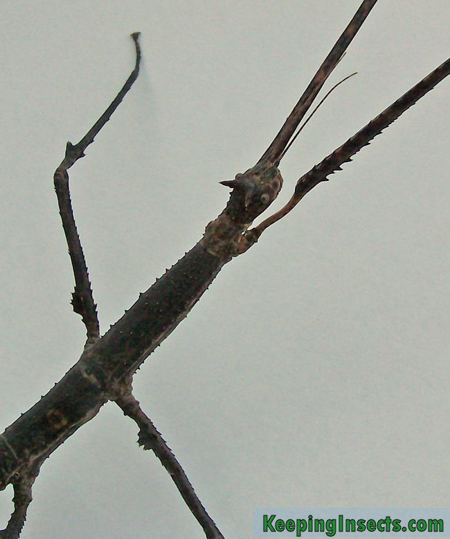 annam-stick-insect-adult-female3