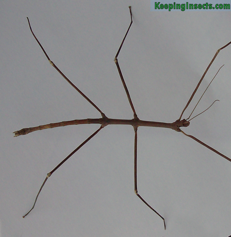 Adult male Annam Stick Insect - Medauroidea extradentata