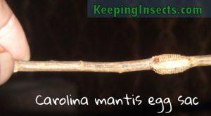 carolina-mantis-eggs-ootheca