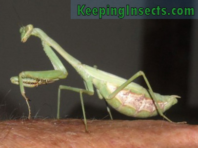 Adult female Carolina mantis. Notice the short wings and the difference in body size with the male Carolina mantis.
