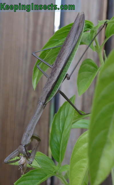 chinese-mantis-eating