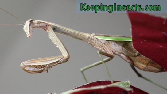 Adult Chinese Mantis