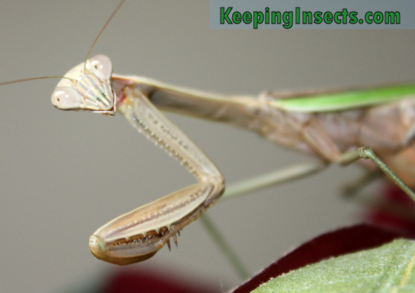 chinese-mantis-female5