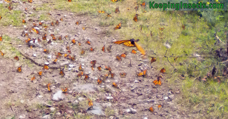 monarch-butterfly-mexico5