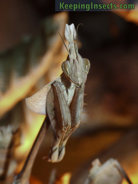 Wandering Violin Mantis female