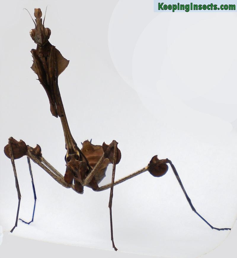 wandering-violin-female-subadult