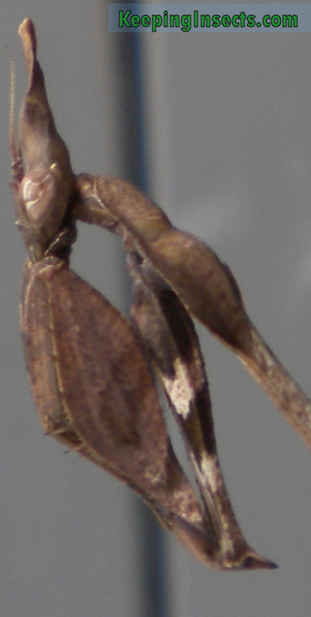 Wanderling Violin mantis subadult female
