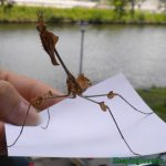 Wanderling Violin mantis subadult male