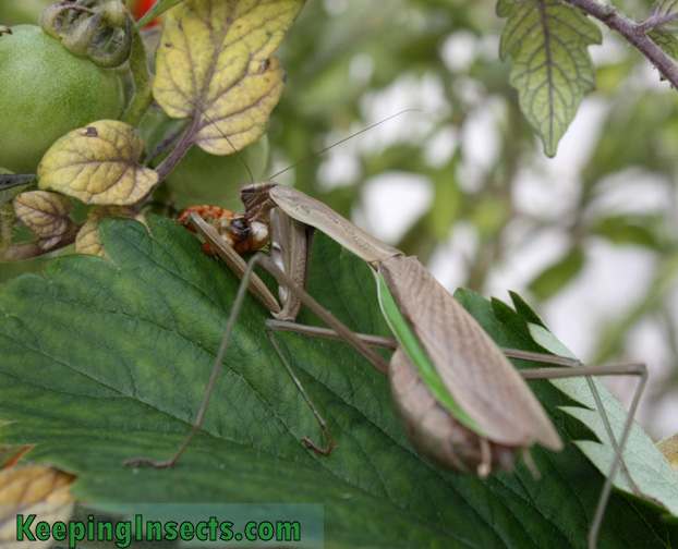 A wild female Chinese mantis eating