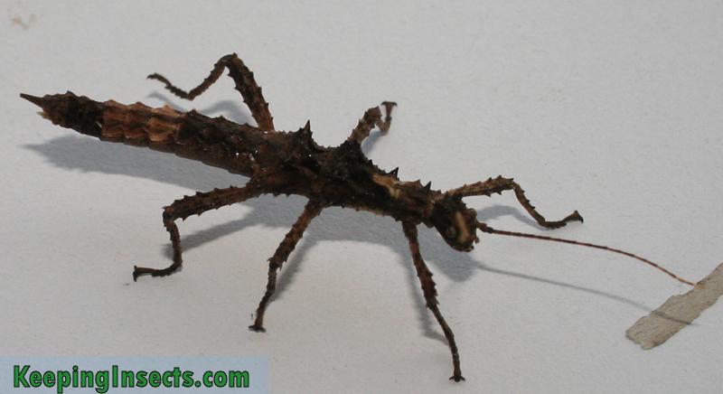 Aretaon-asperrimus-female