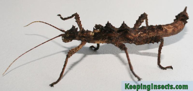 Aretaon-asperrimus-female2
