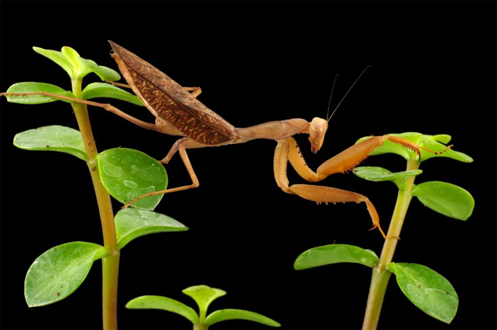 African mantis adult female