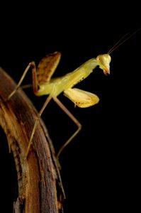 African mantis nymph