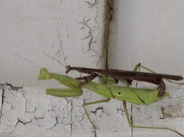 Breeding Praying Mantises Keeping Insects